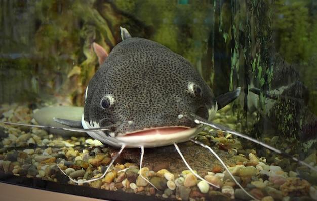 Wels im ozean-aquarium. fische vom ozean im aquarium. rotschwanzwels in einem aquarium mit einer wunde an der lippe, wels gefangen.
