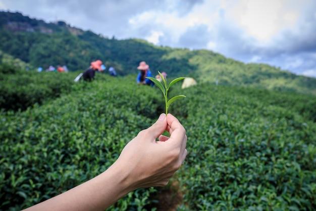 Wenig grüner tee auf holdinghand und landwirtschaftlichem ackerland mit landwirtgruppenhintergrund
