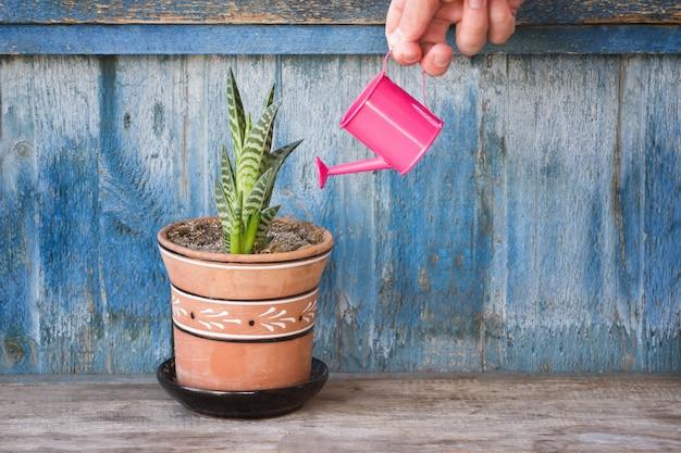 Wenig rosa gießkanne in einer weiblichen hand, die succulent wässert. alter hölzerner hintergrund