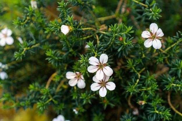 Wenige weiße blüten mit dem ast