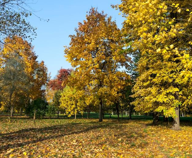 Wenn sich die farbe des ahorns in der herbstsaison ändert, ist das laub des ahornbaums beschädigt und fällt ab