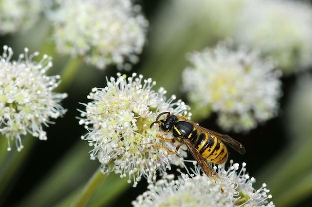 Wespe sitzt auf einer blume - draufsicht