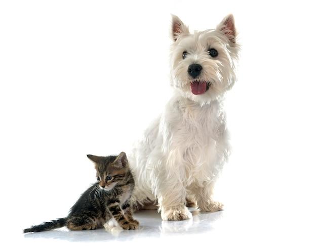 West highland terrier und kätzchen