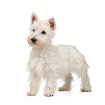 West highland white terrier (5 monate)