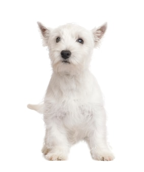 West highland white terrier mit 3 monaten.