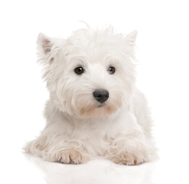 West highland white terrier mit 8 monaten.