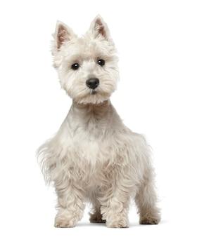 West highland white terrier welpe, der gegen weißen hintergrund steht