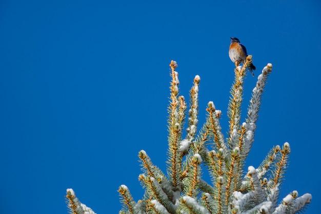Western bluebird an der spitze einer kiefer