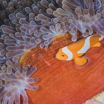 Western clown anemonefish versteckt sich in einer anemone auf tropischer koralle