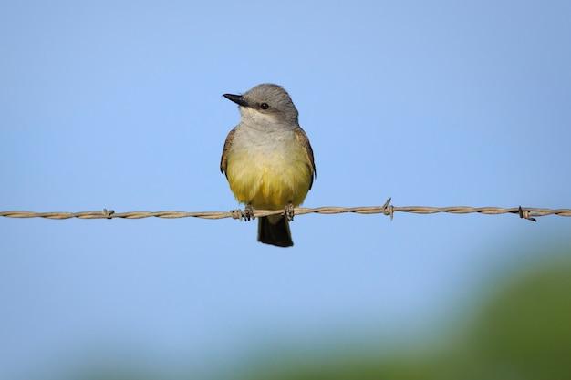 Western kingbird auf stacheldrahtzaun in utah