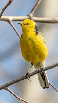 Western yellow wagtail, ein kleiner gelber vogel mit grauen, schwarzen und weißen federn und einem leuchtend gelben bauch