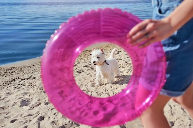 Westie am hundefreundlichen strand mit dem besitzer, der einen gummiring hält