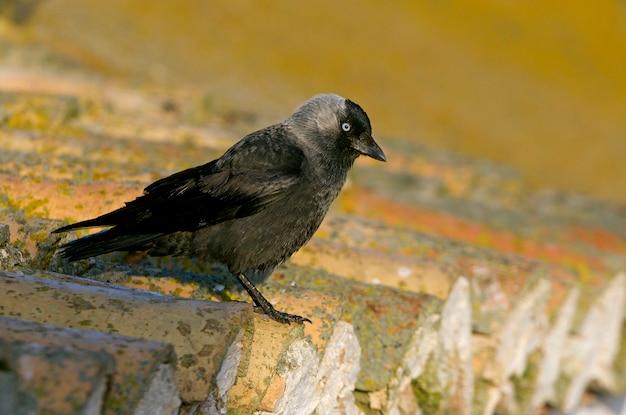 Westliche dohle, krähe, rabe, corvidae, vögel, corvus monedula