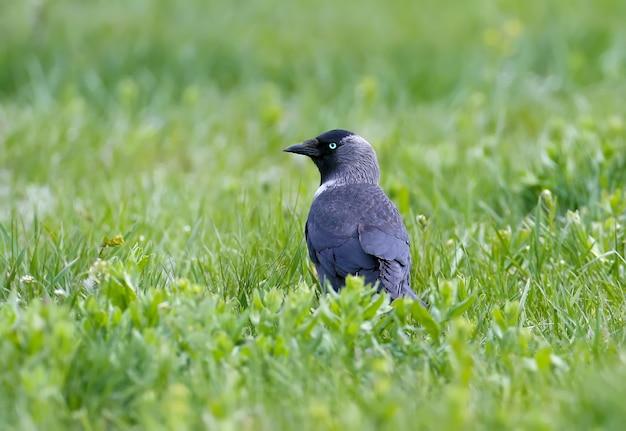 Westliche dohle mit blauen augen sitzt im gras