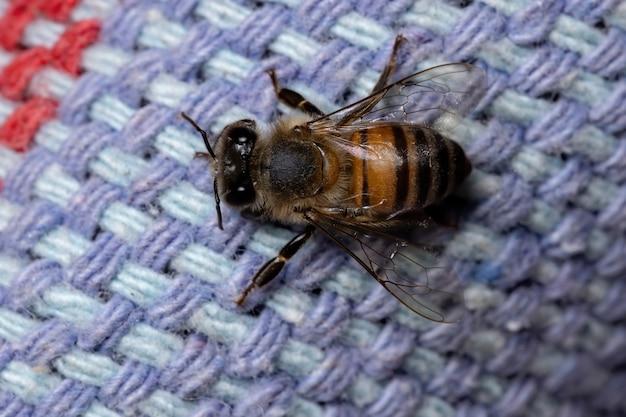 Westliche honigbiene der art apis mellifera