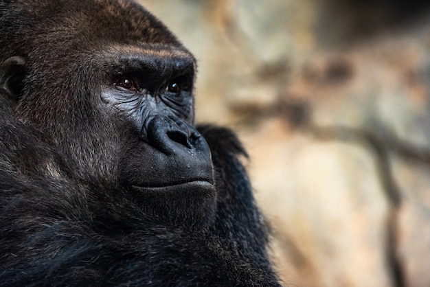Westlicher männlicher gorilla sitzend, gorilla gorilla gorilla, in einem zoo.