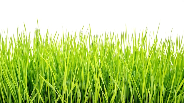Wheatgrass-anlage auf einem weißen hintergrund
