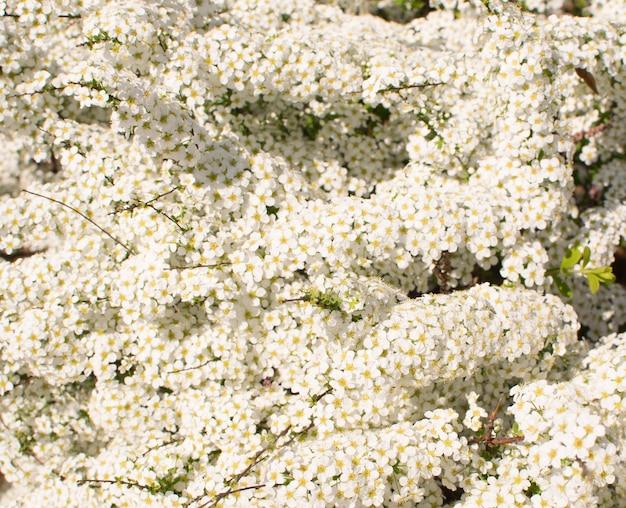 White spiraea thunbergii bush oder thunberg meadowsweet. schöne frühlingsblumen