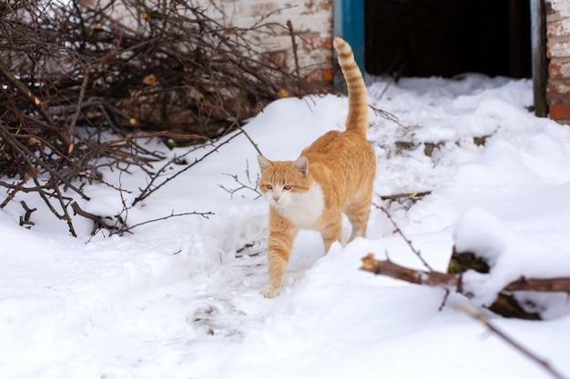 Wichtige rote katze geht in den schnee