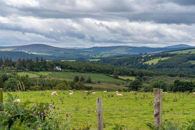 Wicklow way landschaft mit einigen schafen.
