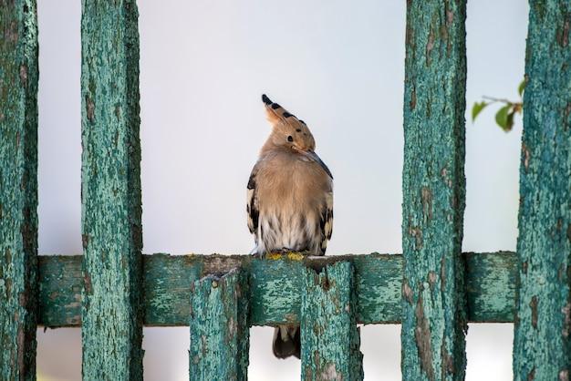 Wiedehopf (upupa epops) sitzt auf einem alten grünen holzzaun.