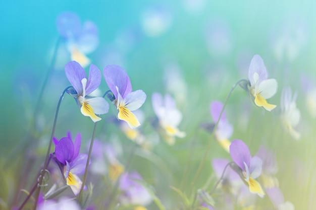 Wiese blüht lila und gelbe veilchen unter dem sonnigen sommerhintergrund des grases