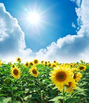 Wiese der sonnenblumen