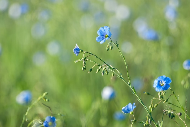 Wiese mit blauen flachsblumen