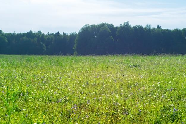 Wiese mit blumen von kornblumen und gänseblümchen an einem sonnigen tag