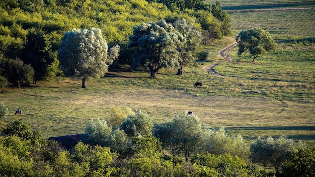 Wiese mit grasenden kühen, mehrere üppige bäume in moldawien