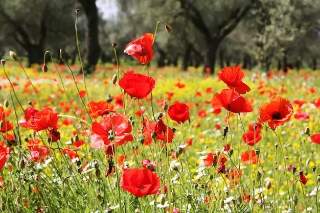 Wiese von roten mohnblumen