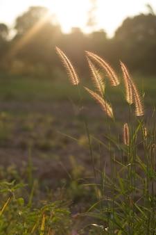 Wiesenblume mit sonnenstrahlen, blumenhintergrund.