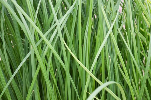 Wiesengrünes gras schließen nah natürlich