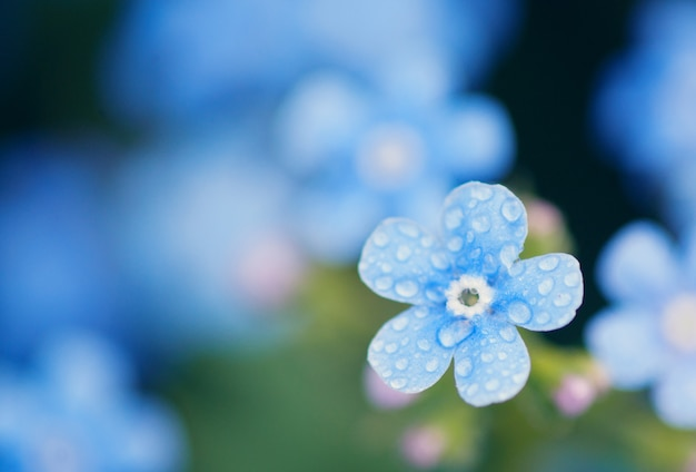 Wiesenpflanze: blaue blümchen - vergissmeinnicht hautnah und grünes gras. flacher dof