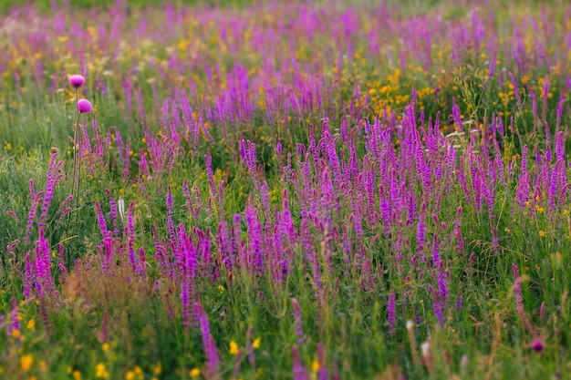 Wiesensommerblumen lila und lila farben blühender salbei blühende wiese an einem sonnigen sommertag