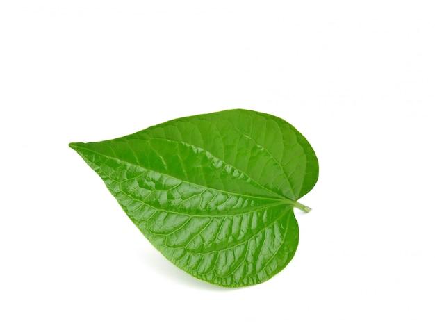 Wild betel leafbush oder piper sarmentosum roxb