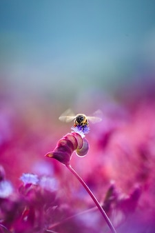Wildbiene auf lavendel, weichzeichner