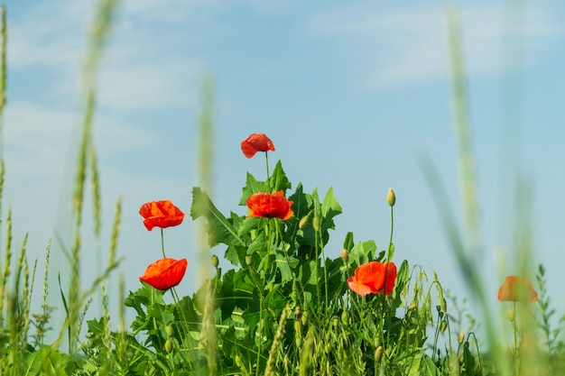 Wildblumen-mohnblumen im gras gegen den blauen himmel. sommer blühender hintergrund.