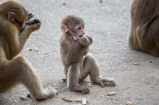Wilde affen, paviane in thailand