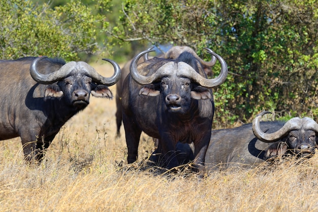 Wilde afrikanische büffel
