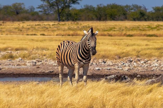 Wilde afrikanische tiere. afrikanisches bergzebra, das im grünland steht. etosha-nationalpark. namibia