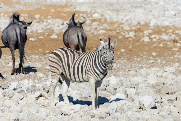 Wilde afrikanische tiere - gnu, kudu, orix, springbock, zebras trinkwasser im wasserloch