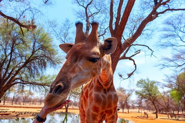 Wilde afrikanische tiere. nahaufnahme namibische giraffe. das höchste lebende landtier und der größte wiederkäuer.