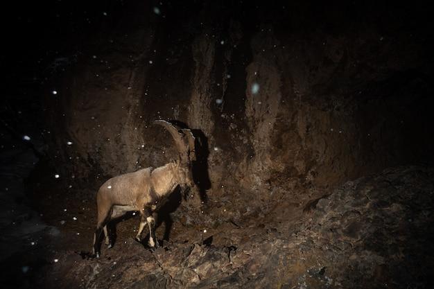 Wilde bezoarziege im naturlebensraum bezoar ibex capra aegagrus