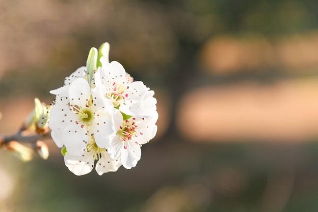 Wilde blühende birne auf einer zweignahaufnahme