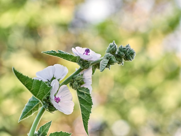 Wilde blume althaea officinalis im garten