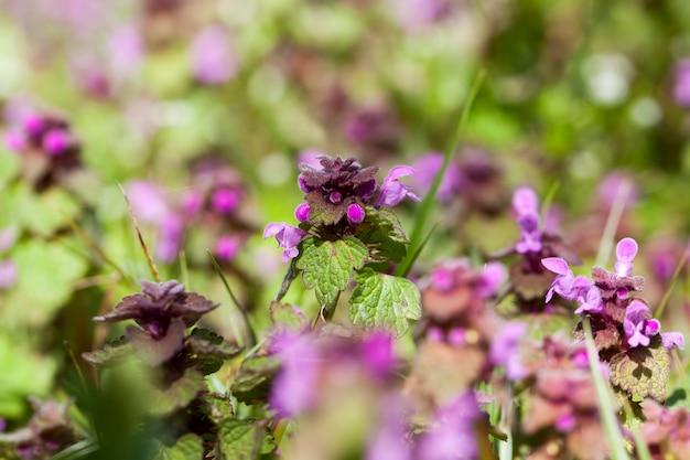 Wilde brennnessel pflanzt unkraut aus nächster nähe, brennnessel blüht im frühjahr mit lila blüten