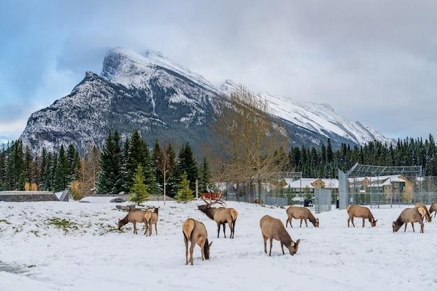 Wilde elche, die im verschneiten winter frei in den banff skateboard park recreation grounds herumlaufen
