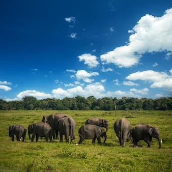 Wilde elefanten in sri lanka