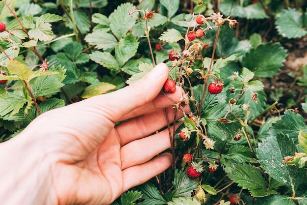 Wilde erdbeere der erntehandpflückensammlung